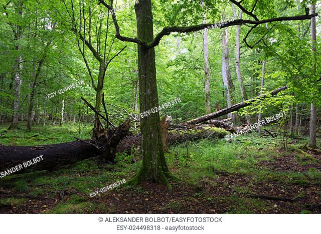 Old hornbeam tree in deciduous stand with broken lying ash in background,Bialowieza Forest,Poland,Europe