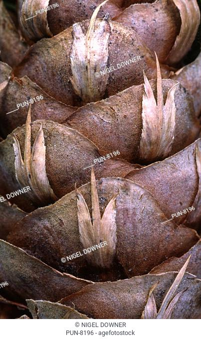 Close-up abstract of a European larch cone Larix decidua showing pattern and texture in New Forest
