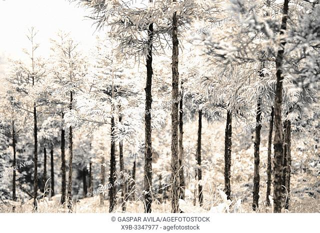 Simulated infrared photo of Japanese Cedar woods (Cryptomeria japonica)