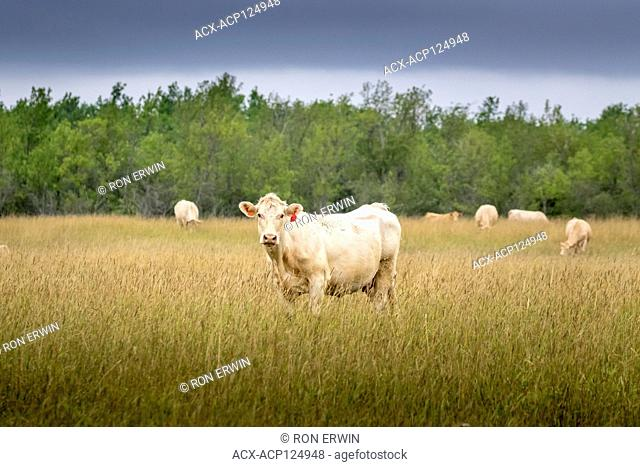 Charolais cow in a field on Barrie Island, Manitoulin Island, Ontario, Canada