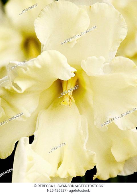 Closeup of White frilly daffadil, Triumph Daffadil