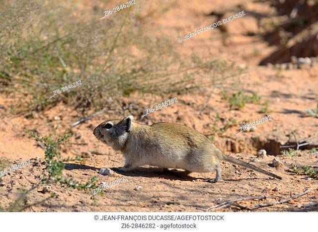Brants's whistling rat (Parotomys brantsii), walking, close to its burrow, Kgalagadi Transfrontier Park, Northern Cape, South Africa, Africa