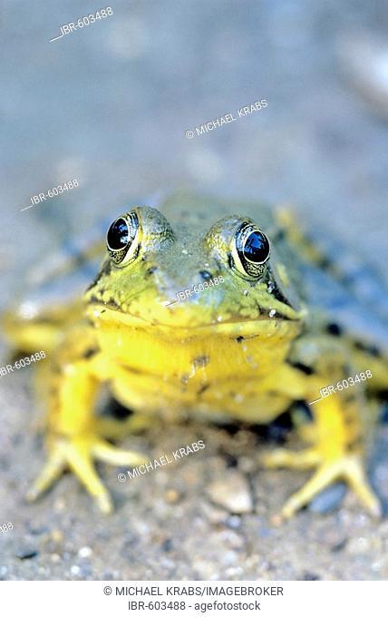 Green Frog, Rana clamitans, michigan, usa