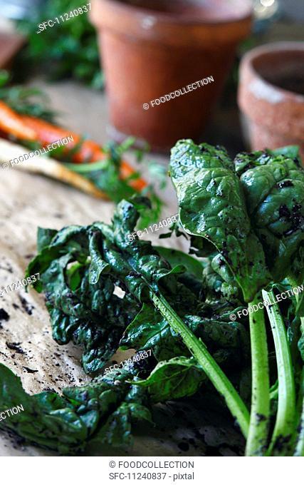 Fresh Organic Spinach and Garden Dirt