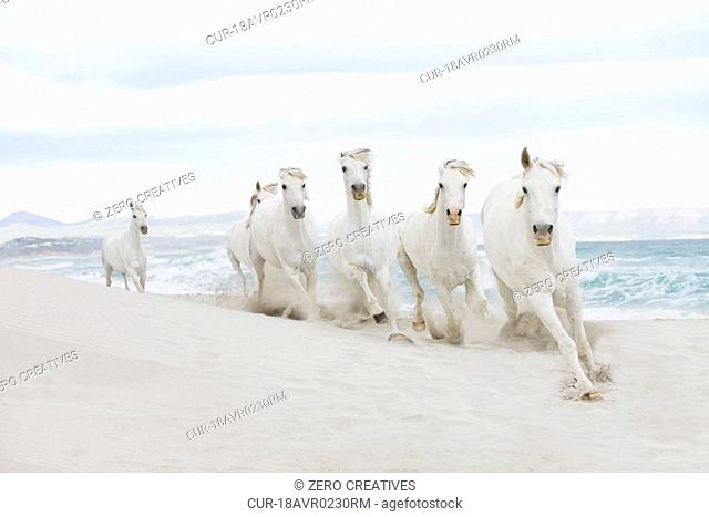 White horses running on beach