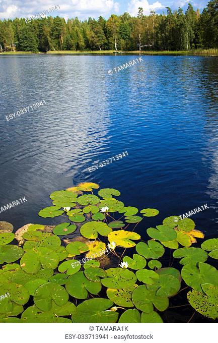 finnish summer lake with flowering waterlilies