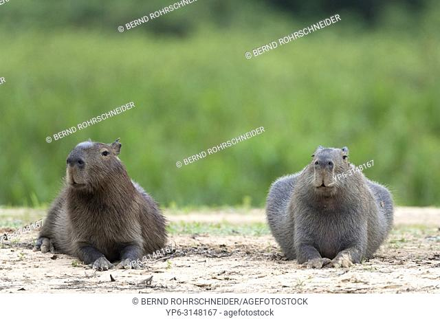 Capybara (Hydrochoerus hydrochaeris), two adults lying on riverbank, Pantanal, Mato Grosso, Brazil