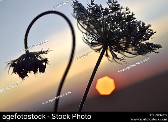 umbellifers at sunset, Eure-et-Loir department, Centre-Val-de-Loire region, France, Europe
