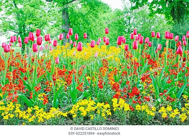 A closeup of tulips, blooming in a garden. Colorful flowers