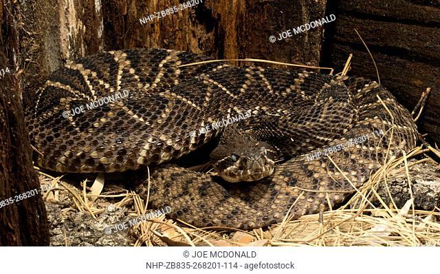 Eastern Diamondback Rattlesnake, Crotalus adamanteus, native to Southeastern US, habitat Upland Dry Pine Forest, Pine and Palmetto Flatwoods