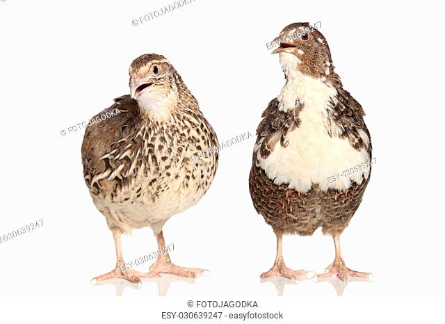 Two female quails on a white background