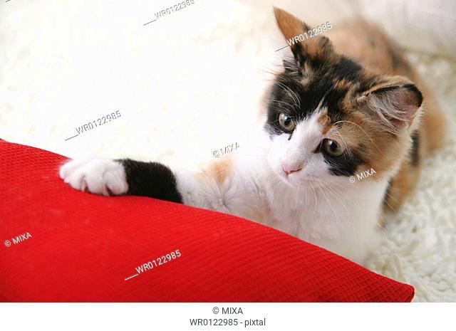 Calico cat touching cushion