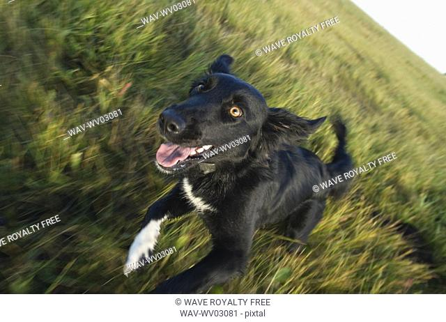 Black mixed breed dog running toward camera, Canada, Alberta