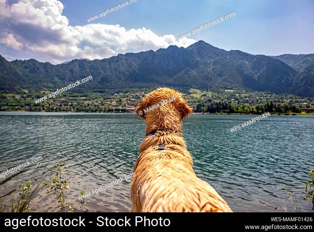 Golden retriever looking at view while standing in front of lake Idro on sunny day