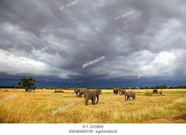 African elephant (Loxodonta africana), grazing herd of elephants at approaching thunderstorm, Kenya, Masai Mara National Park