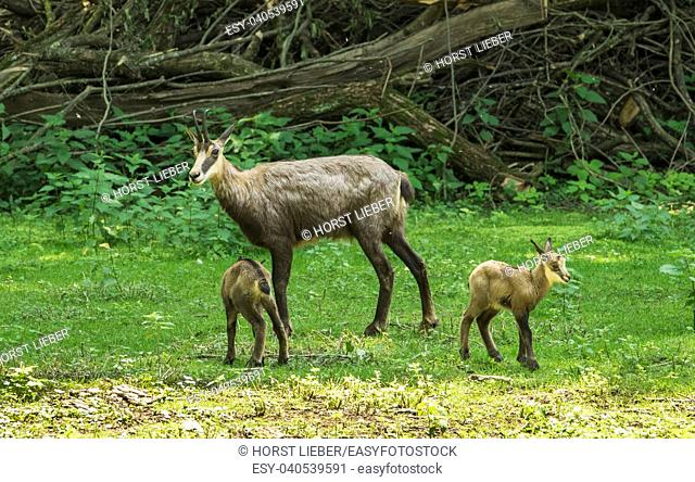 Chamois with child at the edge of the forest. Karlsruhe, Germany, Europe