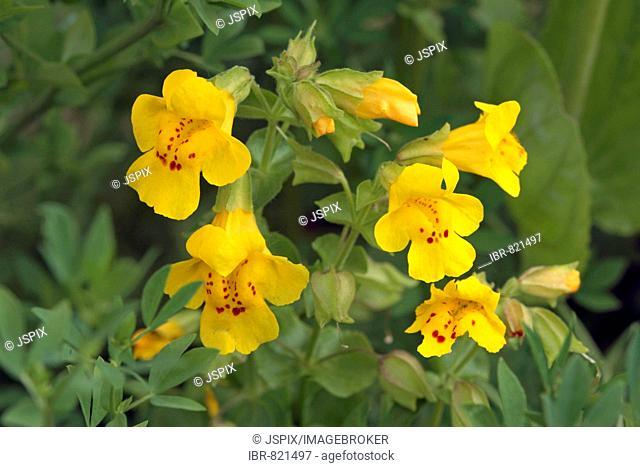 Allegheny Monkey Flower (Mimulus ringens), yellow flowers