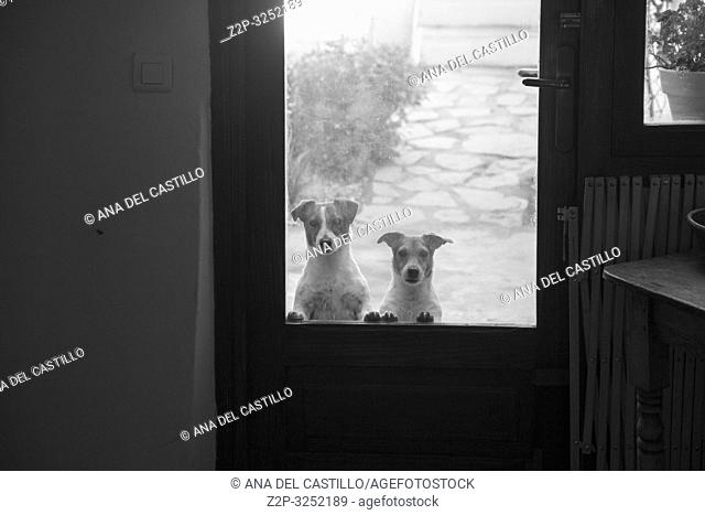Two dogs looking through glass door Beniali village Gallinera mountains Alicante Spain