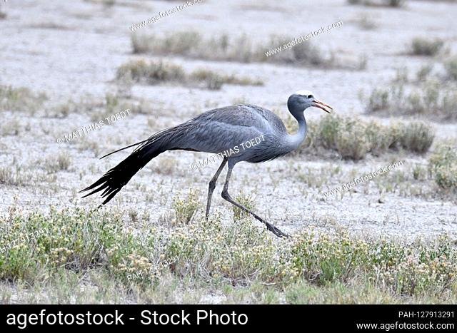 Paradise crane in Etosha National Park, taken on 05.03.2019. This crane can weigh up to 5.5 kg and is considered the national bird of South Africa