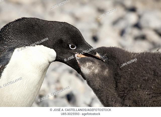 Antarctica. Adelie penguins (Pygoscelis adeliae) on the rocky beach of Brown Bluff. Adélie penguin feeding its chick by regurgitating what he has just captured
