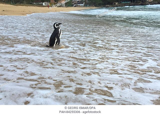 Penguin Dindim swims at the beach Proveta, a village on the Atlantic island of Ilha Grande, Brazil, 5 September 2016. According to de Souza and other residents