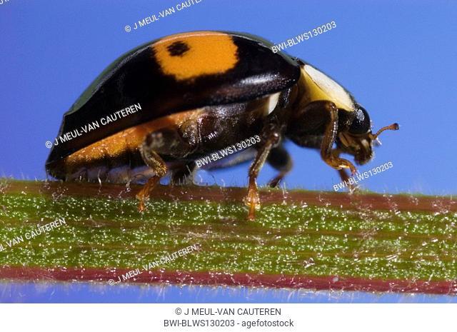 multicoloured Asian beetle Harmonia axyridis, on stem