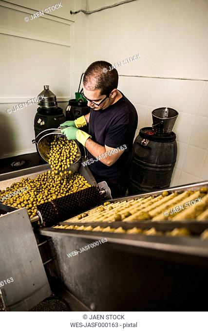 Worker in food processing plant pouring olives on conveyor belt