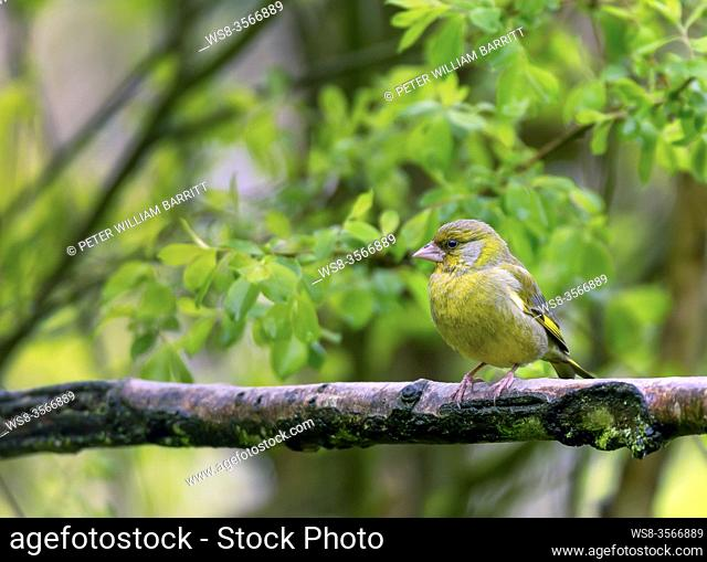 Greenfinch, Carduelis chloris, in woodland, Shropshire, England, UK, GB,
