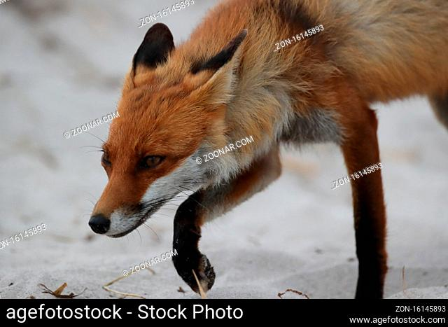 red fox (Vulpes vulpes) looks for food on the beach of the baltic sea, Germany