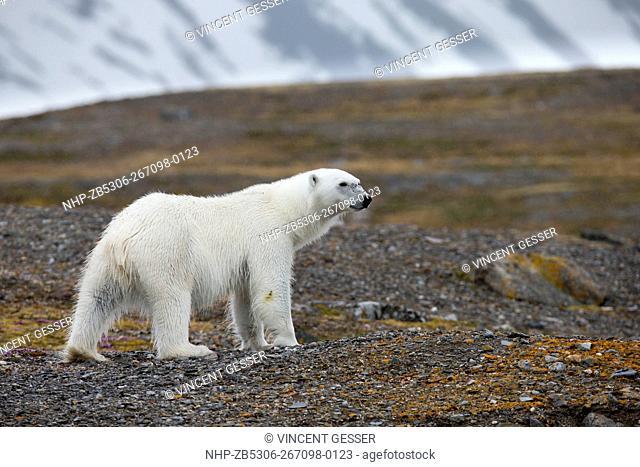 Polar bear (Ursus maritimus) standing in the toundra, Svalbard