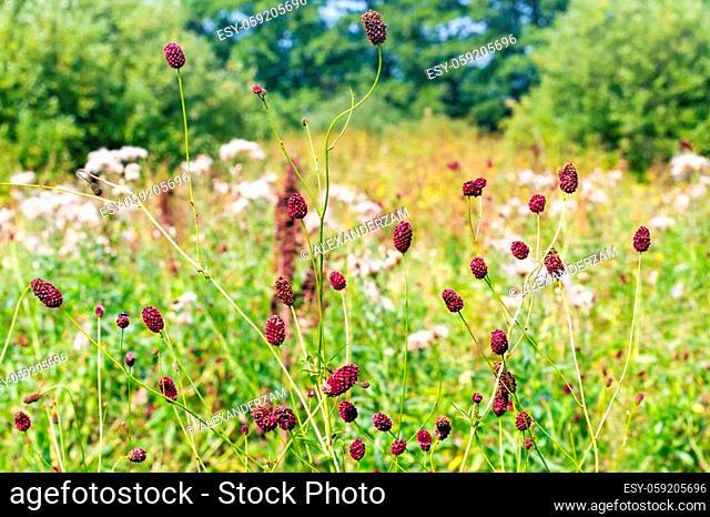 Sanguisorba officinalis herbs with red inflorescences closeup