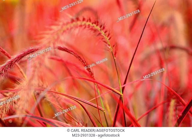 Ornamental red grass in a garden, Pennsylvania, USA