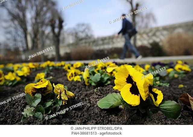 A man walks past a flowerbed with blossoming violas near the Tierpark in Berlin, Germany, 9 April 2013. Photo: Jan-Philipp Strobel | usage worldwide