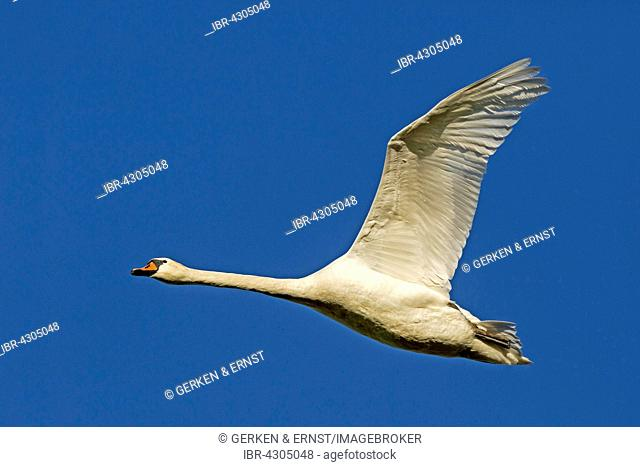 Mute Swan (Cygnus olor) in flight, Mecklenburg-Western Pomerania, Germany
