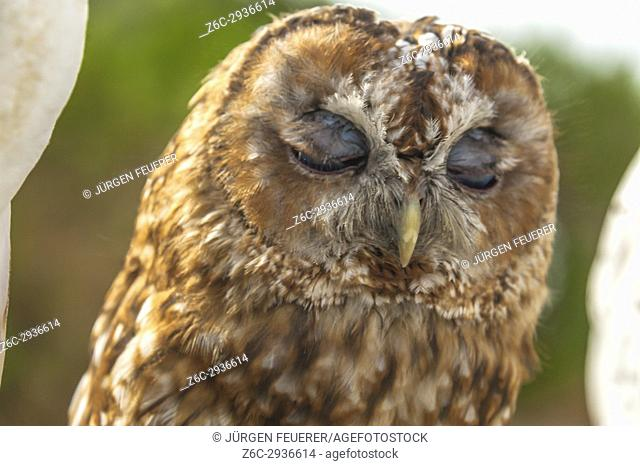 tawny owl or brown owl, Strix aluco, with closed eyes, captive bird, taken in Zahara, Andalusia, Spain