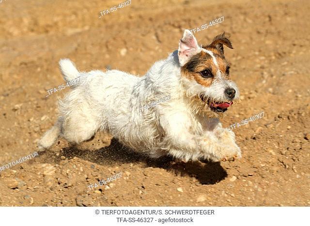 running Parson Russell Terrier