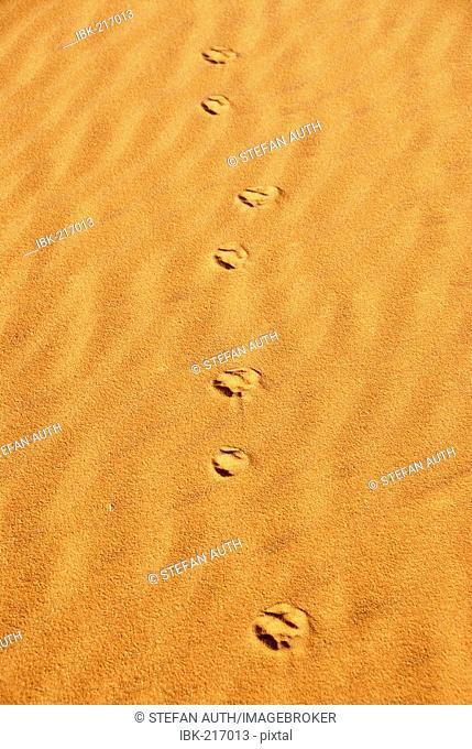 Track of a Fennec fox Vulpes zerda in sand Mandara Libya