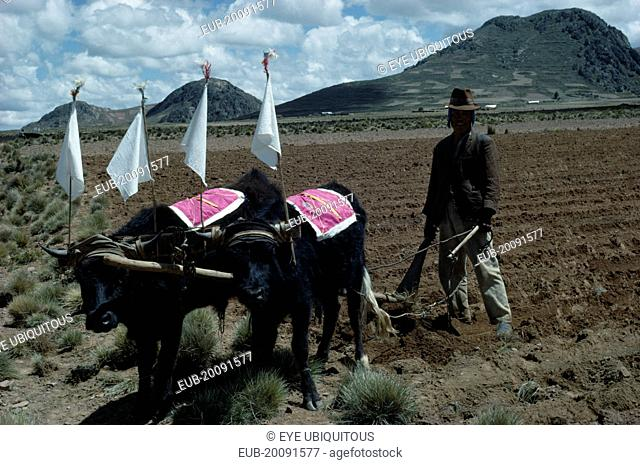 Aymara, Quechua man ploughing field with cattle ready to plant potatoes