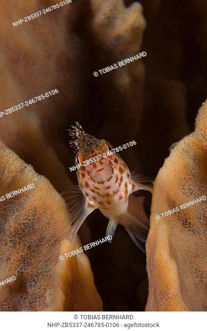 Pixy hawkfish, cirrhitichthys oxycephalus, PNG