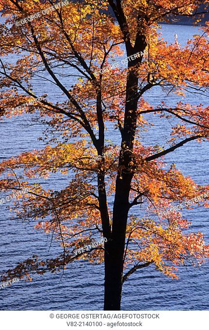 Quabbin Reservoir-sugar maple, Quabbin Park, Massachusetts