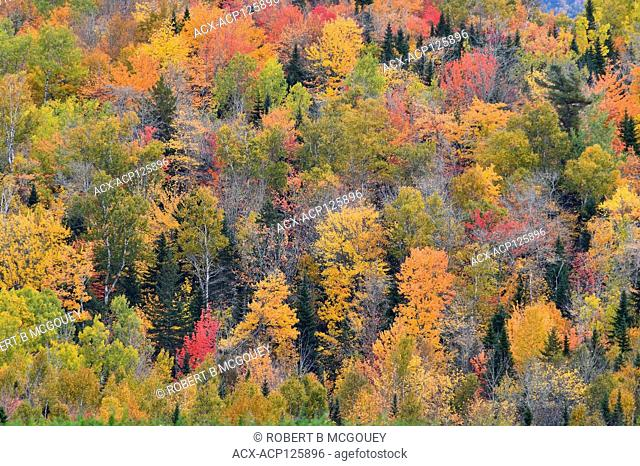 A landscape image of a deciduous forest with the leaves of its trees turning the bright autumn reds and yellows near Sussex, New Brunswick, Canada