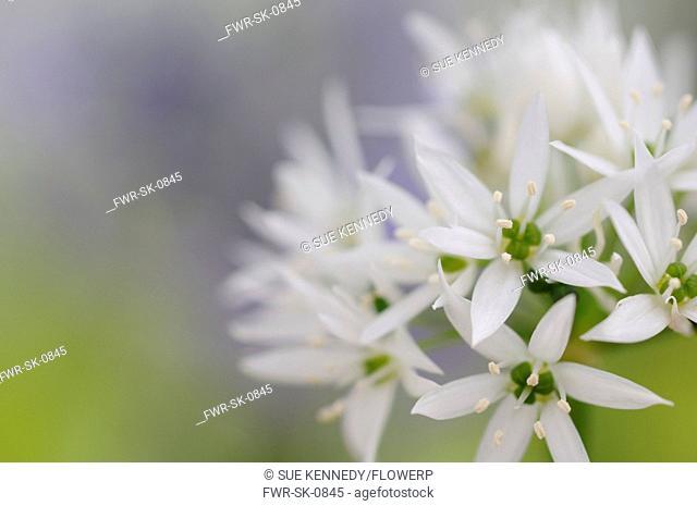 Allium ursinum, Wild garlic, Ramsons, White subject