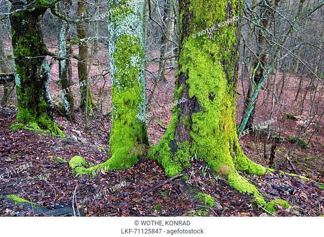 treetrunks covered with moss, Germany, Europe