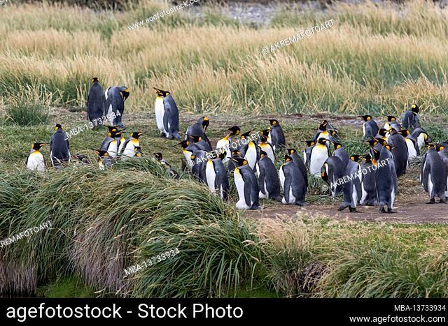King penguins (Aptenodytes patagonicus) on Tierra del Fuego, Parque Pinguino Rey, Tierra del Fuego, Chile