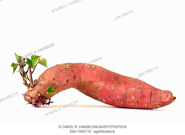 Sweet potato, sending forth roots and shoots, on white background