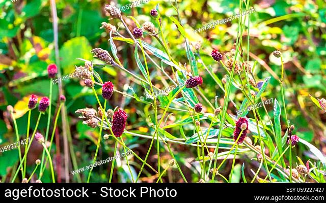 Sanguisorba officinalis flowers and green grass