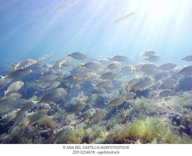 Sarpa salpas fishes San Antonio cape in Alicante province Spain