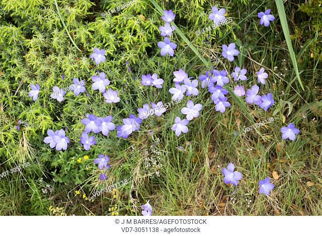 Blue flax or perennial flax (Linum narbonense) is a perennial herb native to southern Europe and north Africa. This photo was taken in Huesca province, Aragon