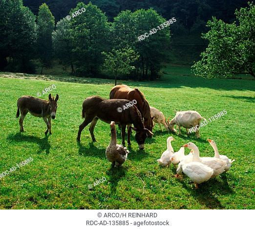 Domestic Donkeys Horse Goats and Geese Donkey Goat Goosse
