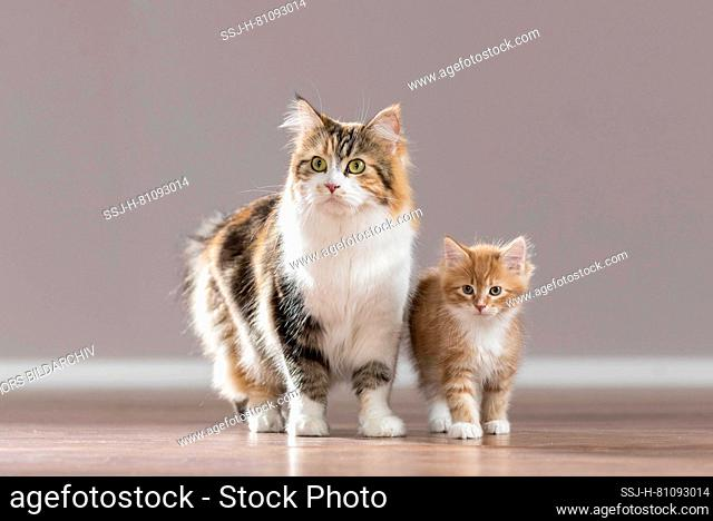 American Longhair, Maine Coon. Mother and kitten standing on parquet. Germany
